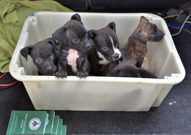 cuccioli-in-vendita-pecs