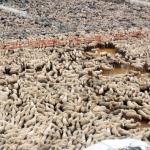 Pecore concentrate per la spedizione