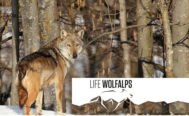 I lupi e le Iene, i lupi e la cattiva informazione