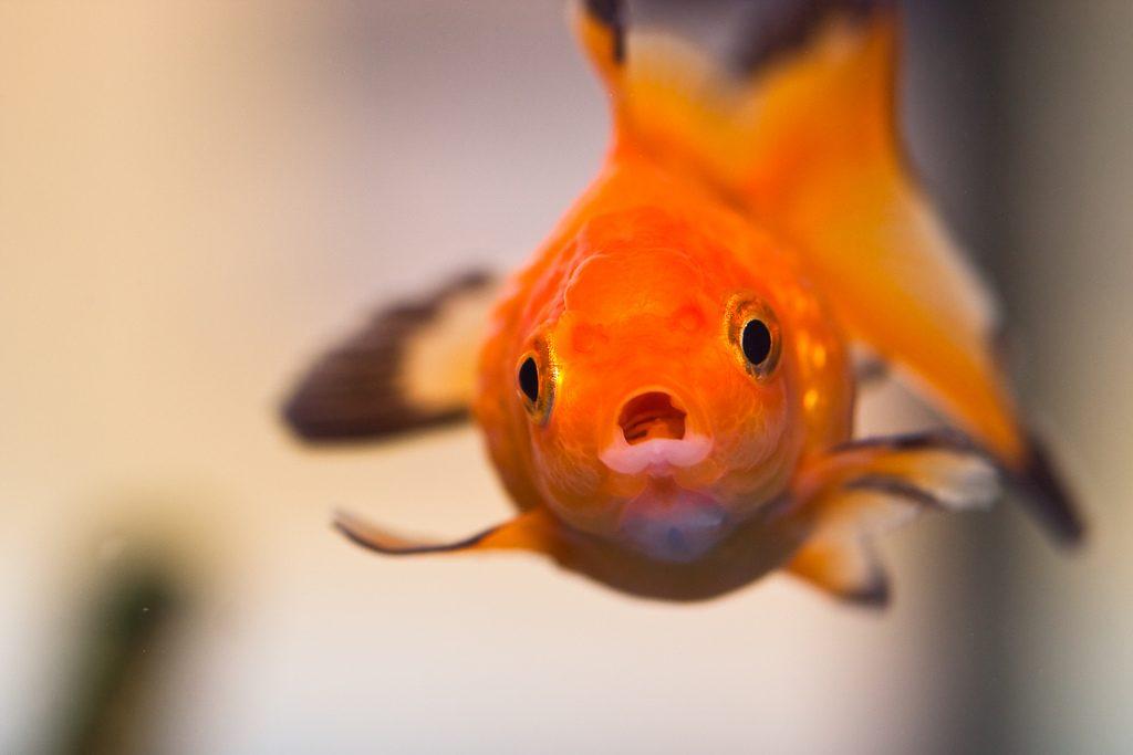 Pesce rosso ovvero la genesi del maltrattamento