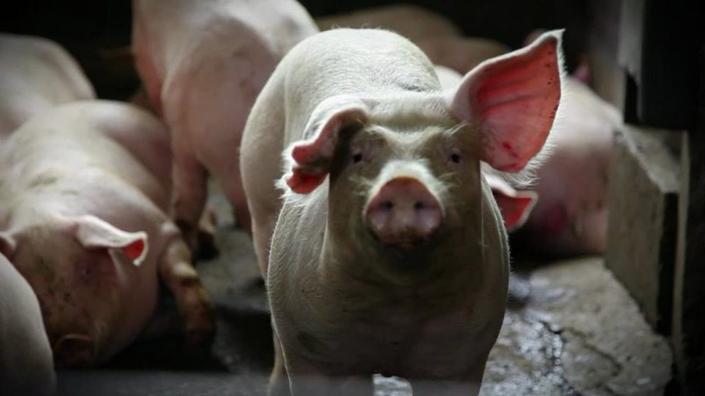 maltrattamenti agli animali nei macelli