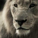 ucciso Xanda figlio di Cecil the Lion