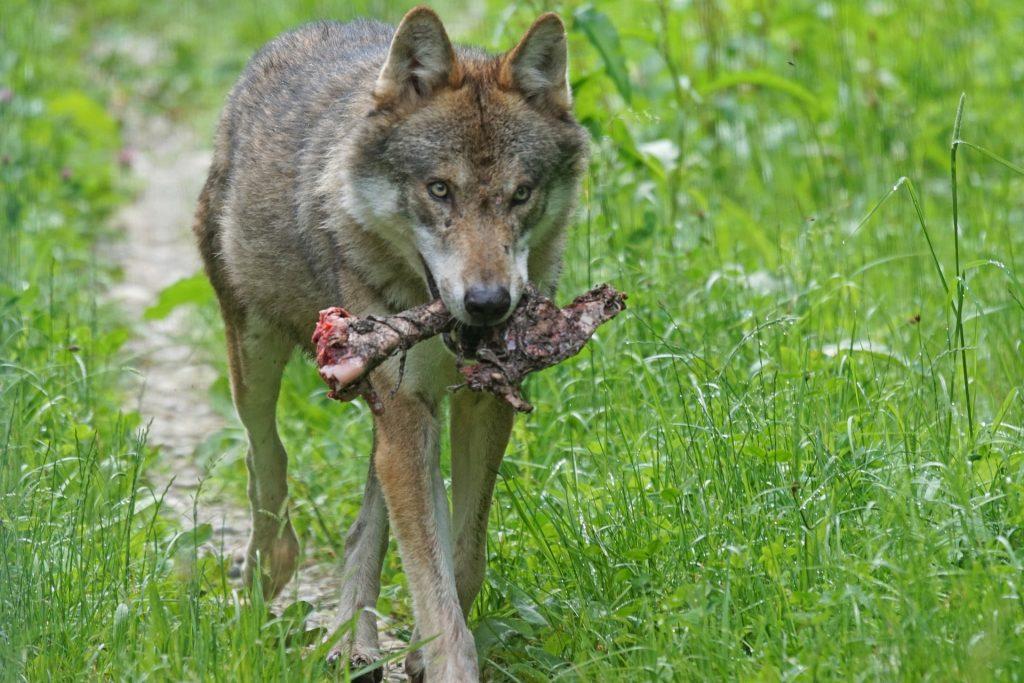 lupo diventa simpatrico