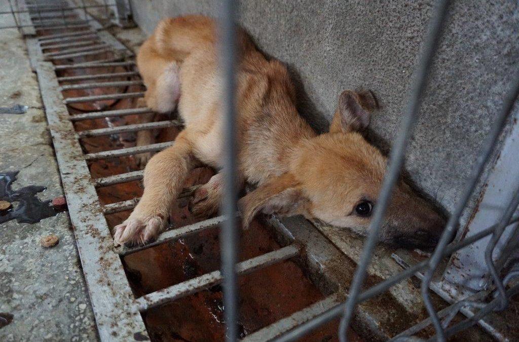 La crudele agonia dei cani rumeni in attesa della morte