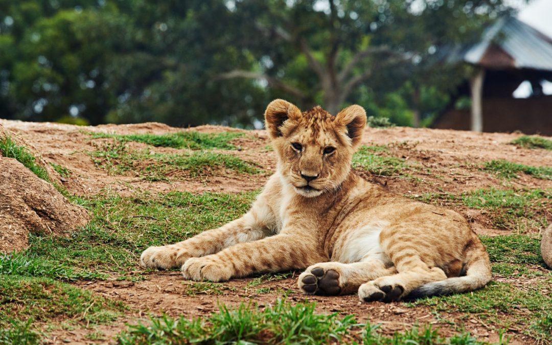 Sono leoni insanguinati quelli allevati per finire come trofei