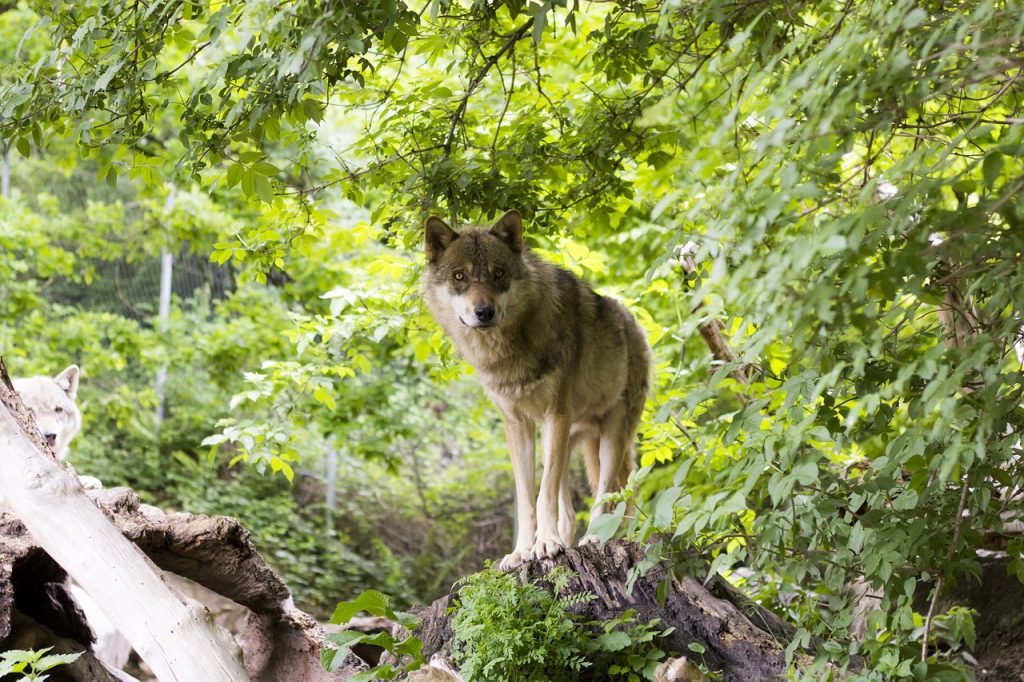 Nessuna cattura per i lupi di Porto Ercole