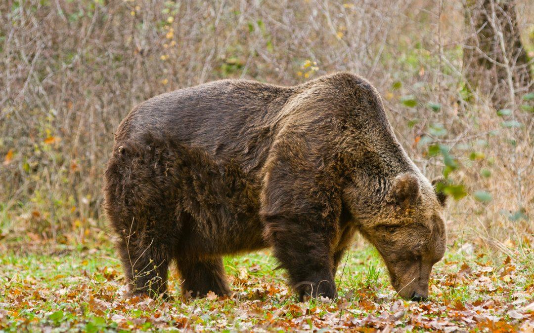 Orso ucciso con una fucilata ma non è reato