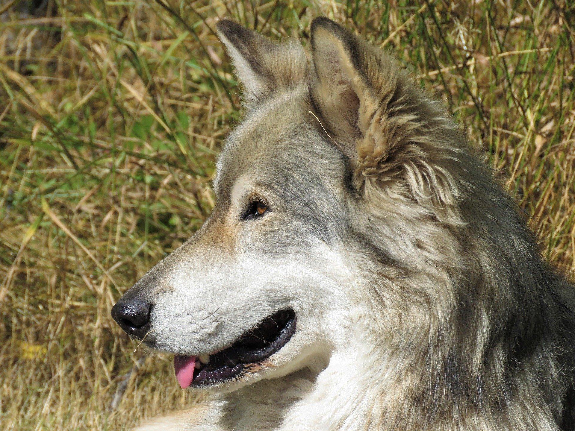 In città arrivano i lupi ma sono quelli cecoslovacchi