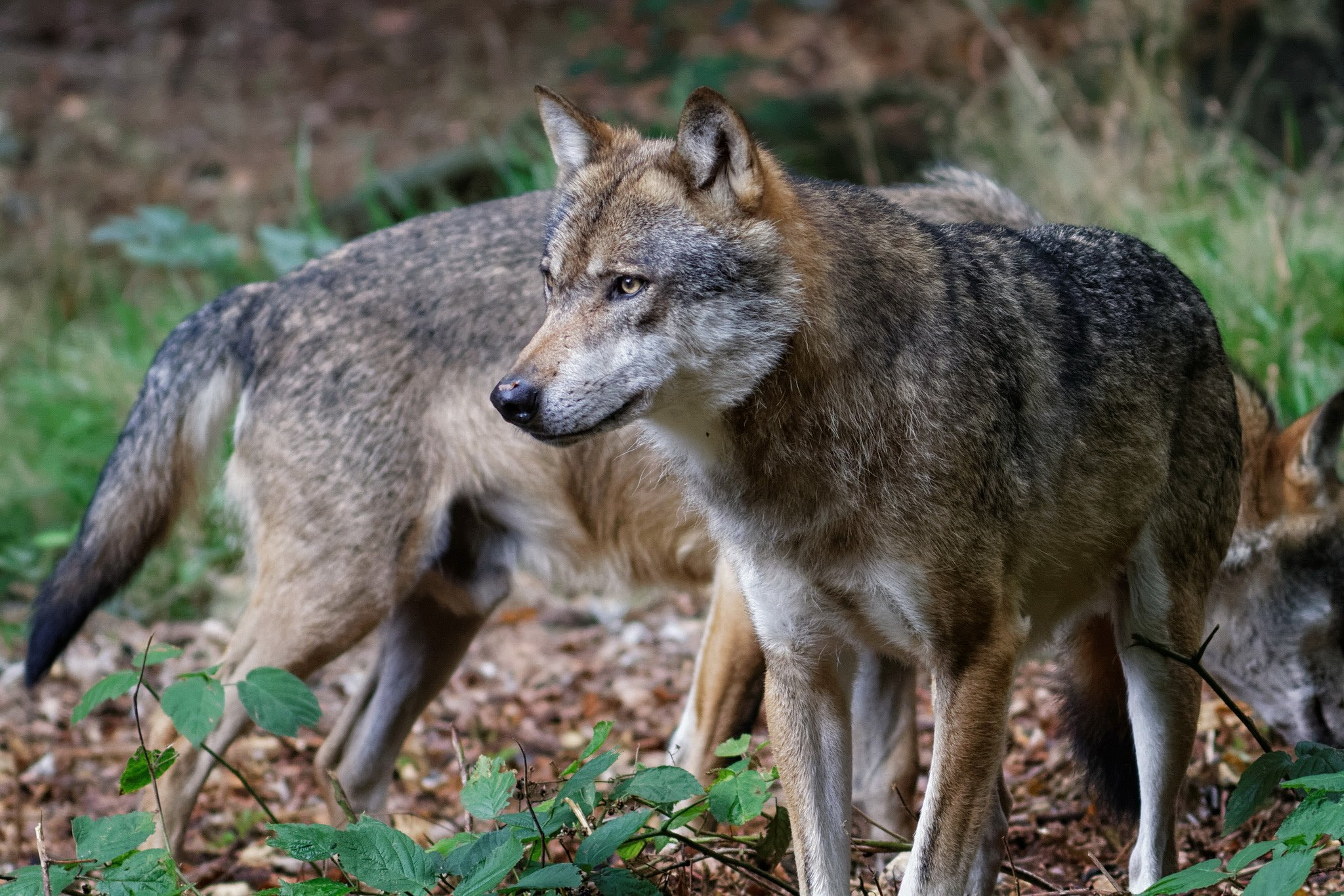 vogliono mettere i lupi nelle riserve
