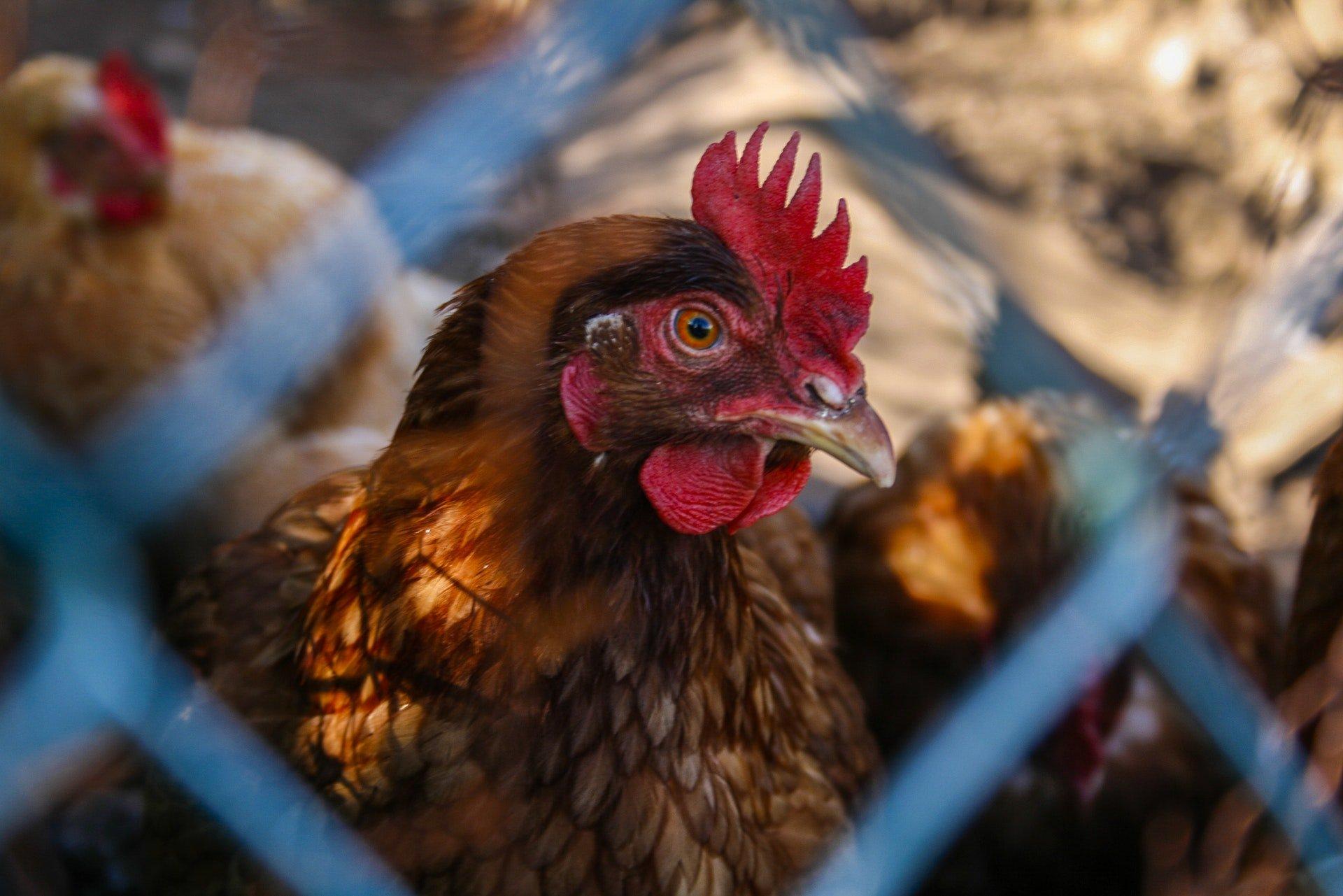 Basta gabbie per allevare gli animali in Europa