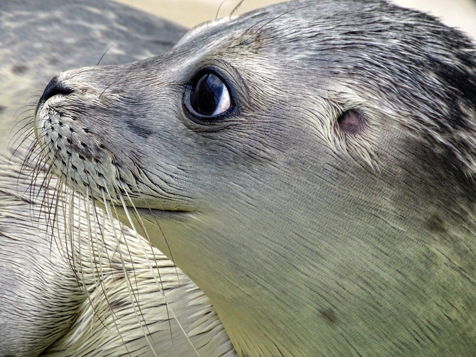 Si possono salvare foche uccidendo altre foche ?