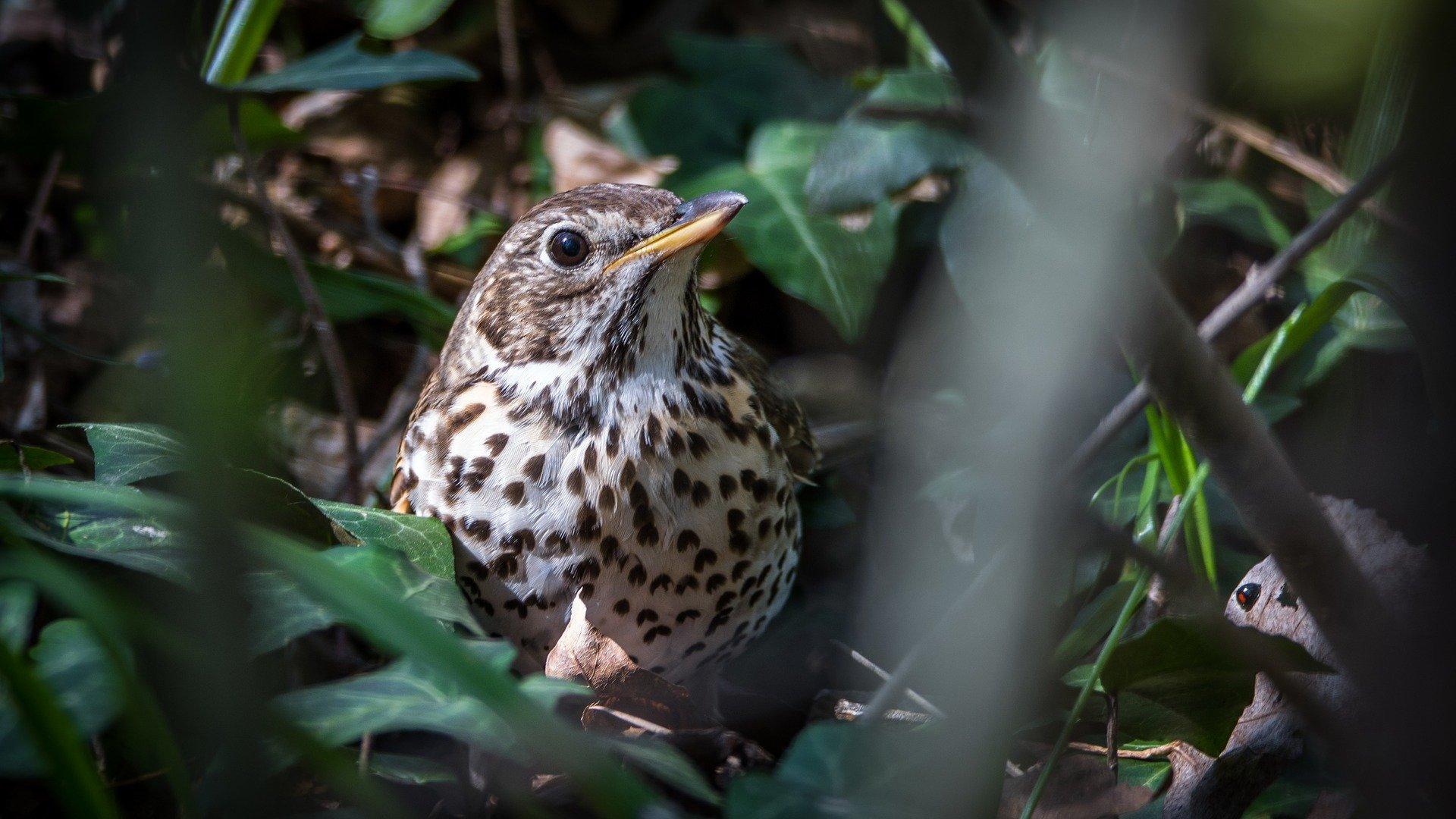 uccelli da richiamo catturati nei roccoli