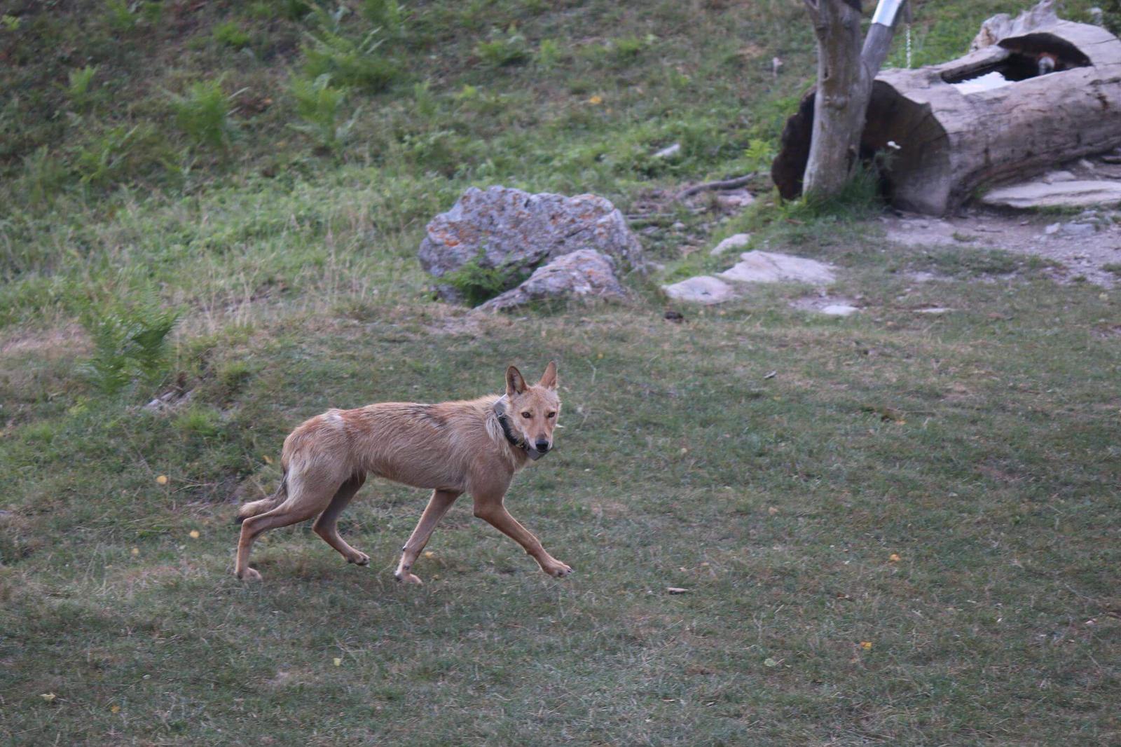 La storia di Luce mezzo lupo e mezzo cane
