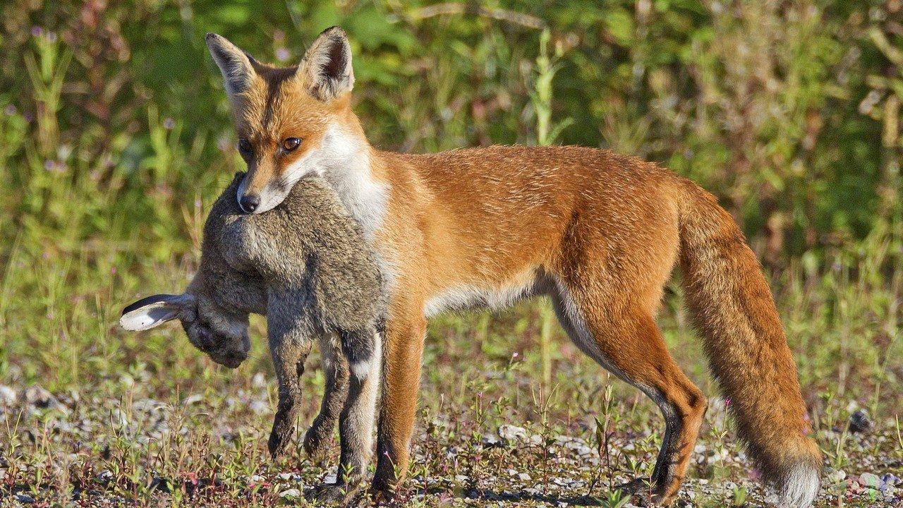 Soparate alle volpi che sono dannose