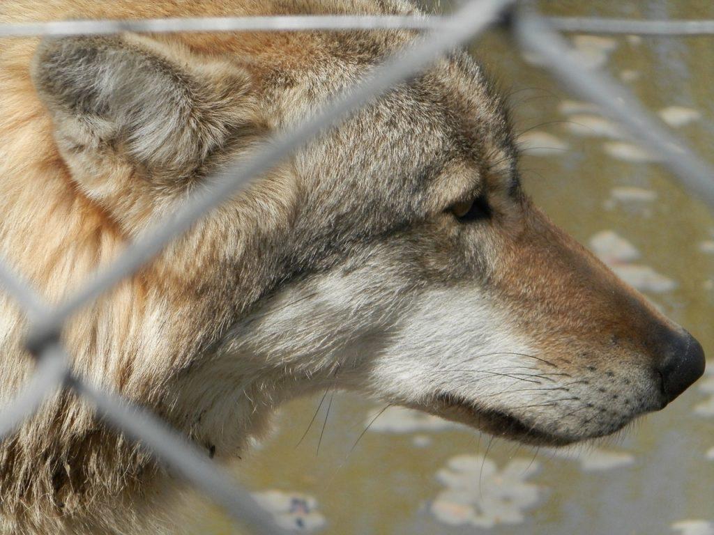 Abbattere i lupi è la priorità