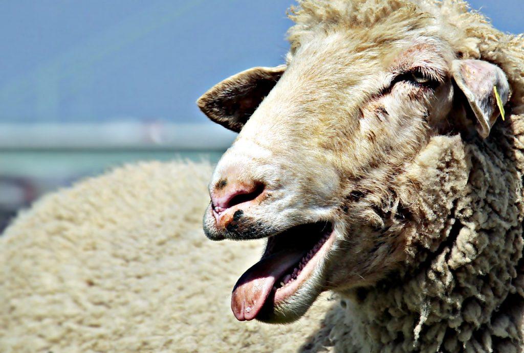 Pastori sardi latte e pecorino ma soprattutto pecore
