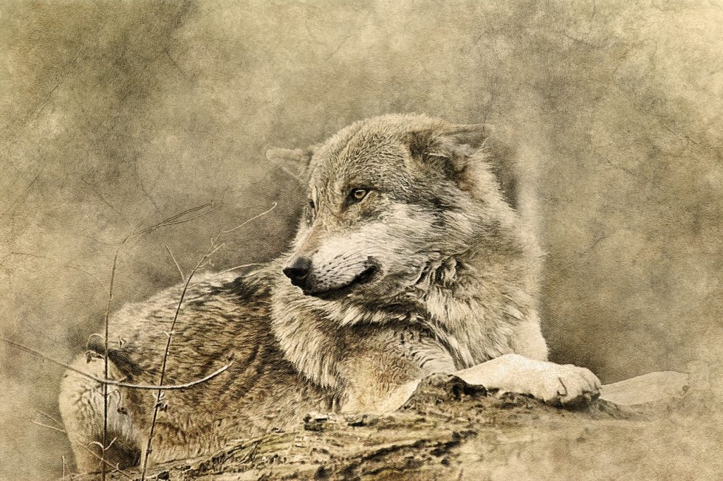 Uomo aggredito dai lupi in Toscana