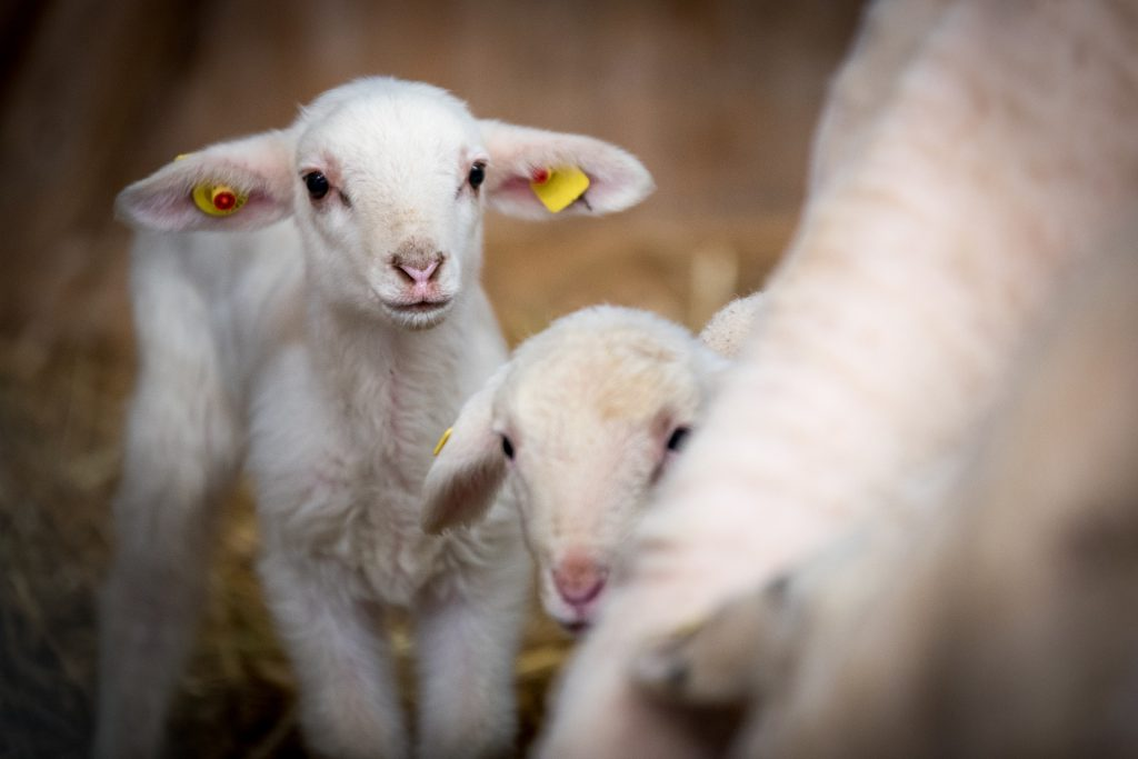 vita degli agnelli fra empatia e realtà