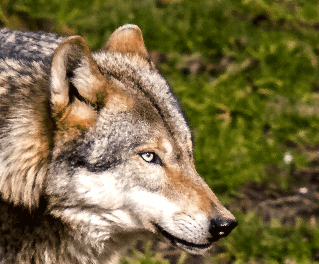 piano gestione lupo