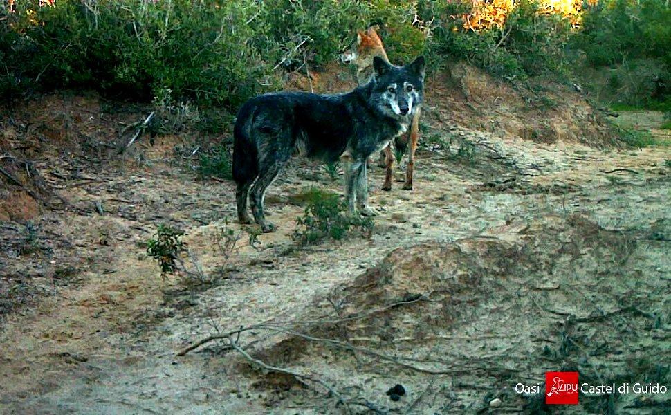 Nerone lupo ibrido, è il nuovo capobranco a Castel di Guido