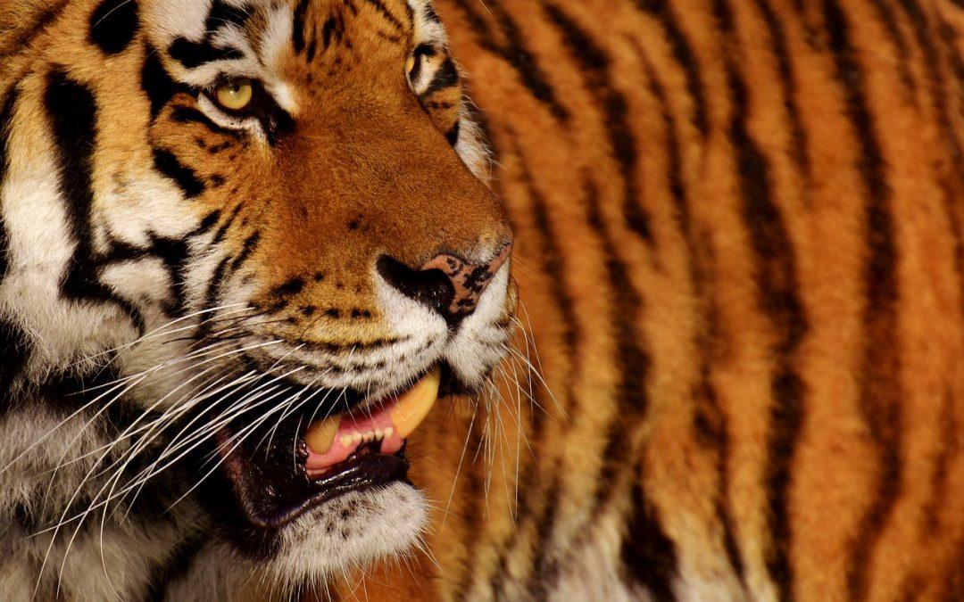 Dove sono le tigri del domatore ucciso?