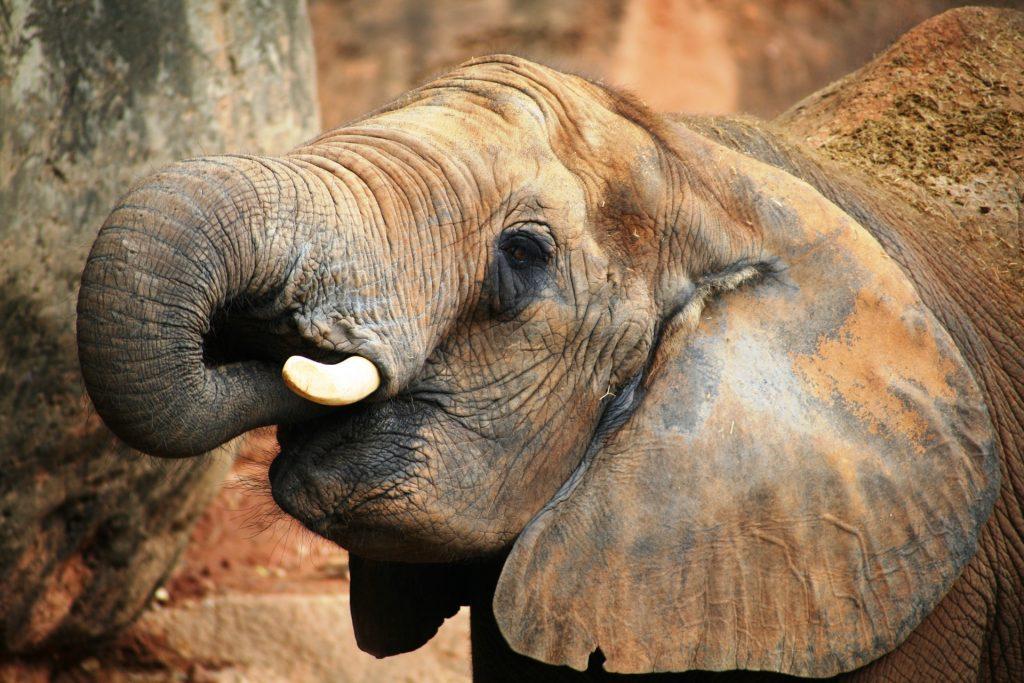 esportazione di trenta elefanti