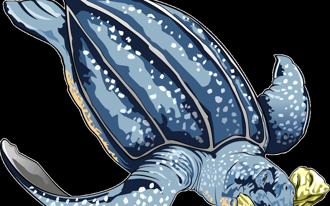Tartaruga liuto, pescata per errore, torna libera