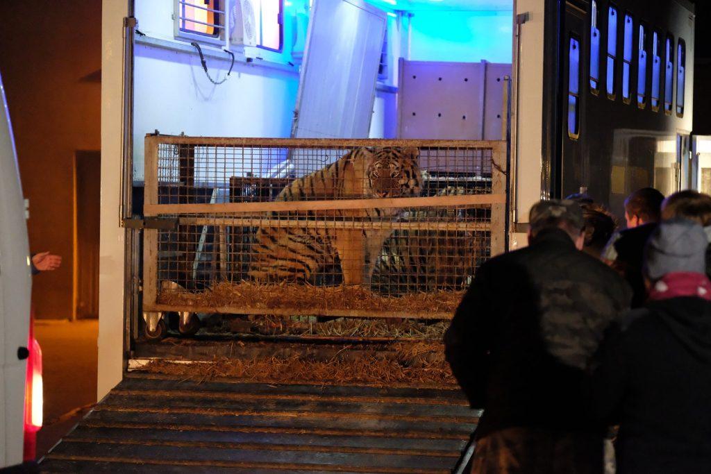 illegale odissea di 10 tigri