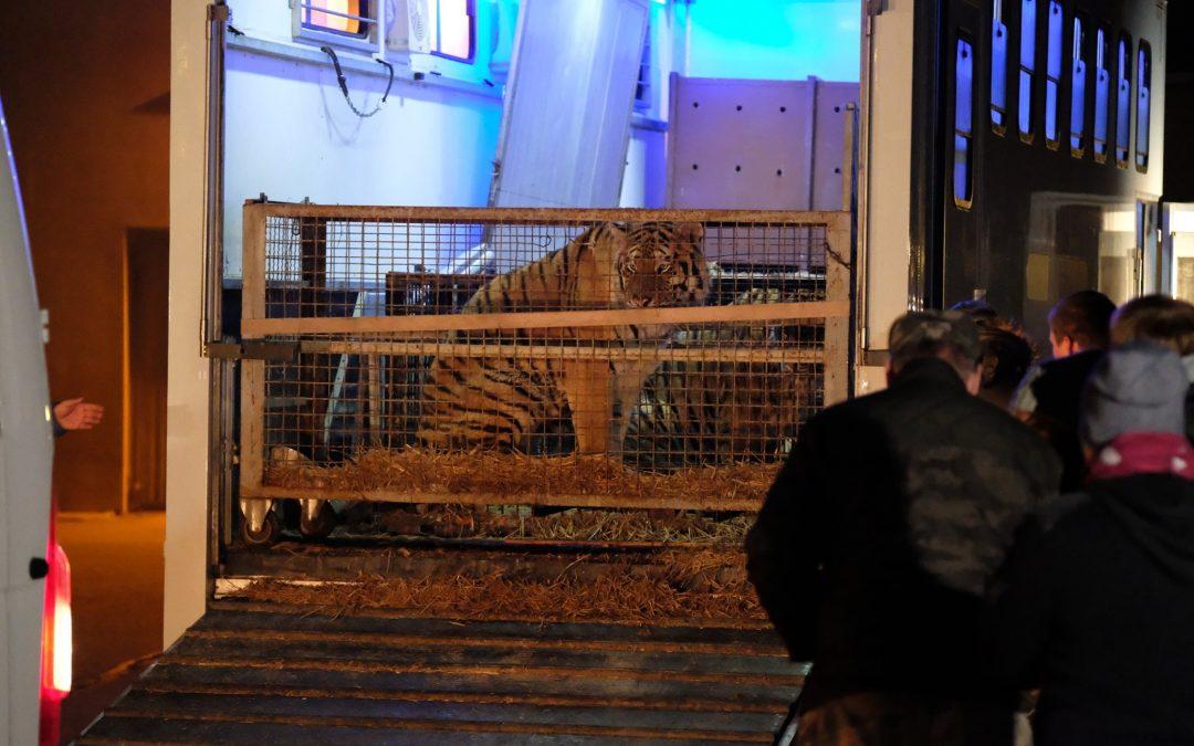 L'illegale odissea di 10 tigri da Latina alla Russia