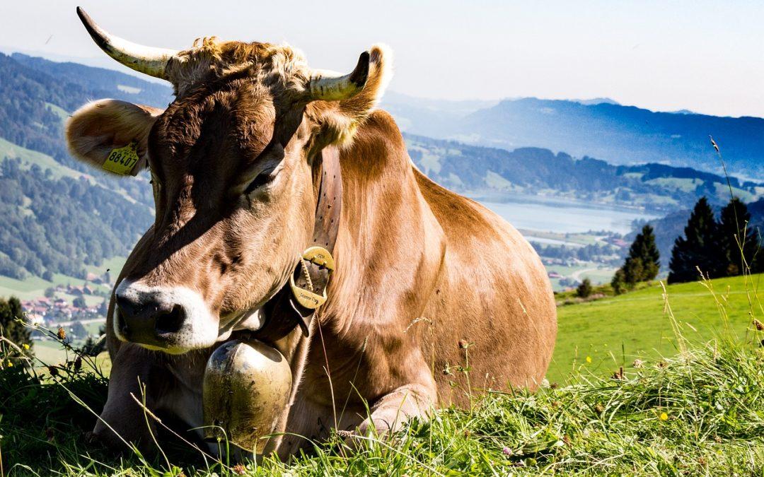 Pastore abbandona vacca ferita