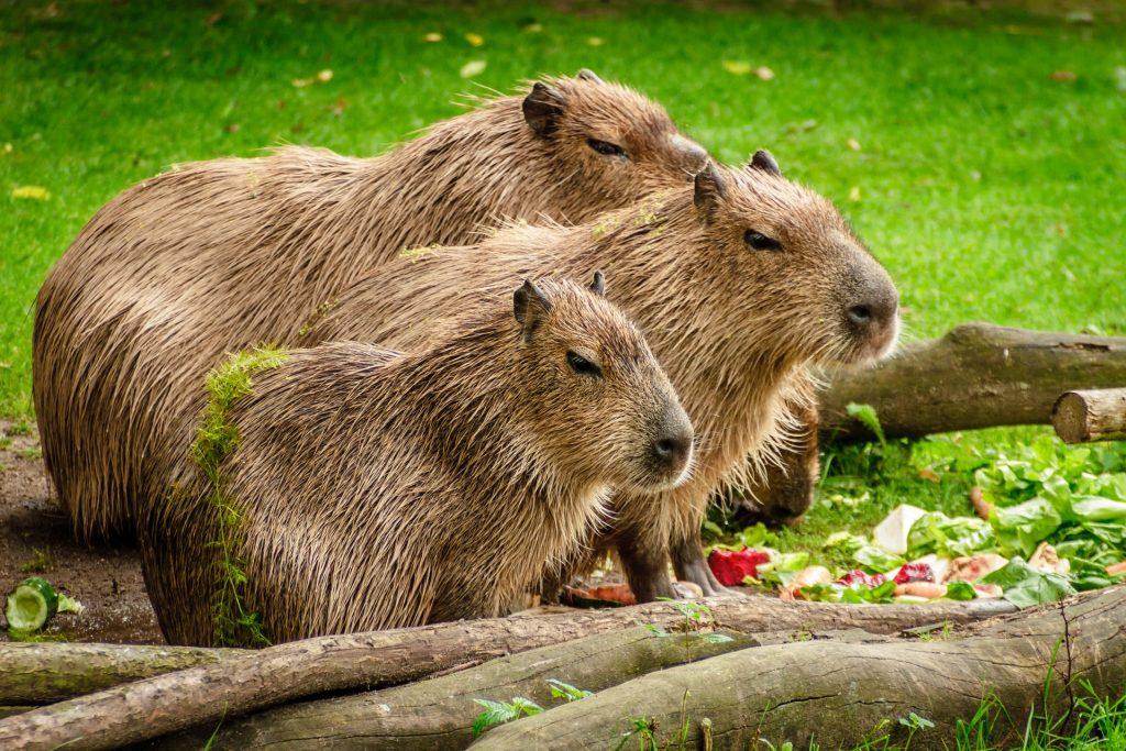 Morti 12 capibara