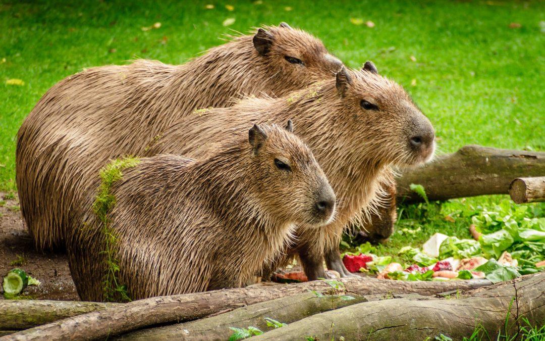 Morti 12 capibara in un volo aereo, Iberia condannata