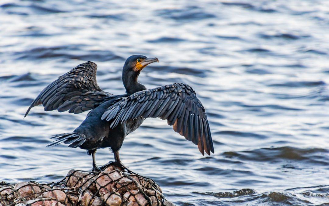 Saranno abbattuti mille cormorani in Lombardia