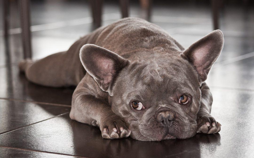 Sequestrati bulldog blu, la razza che non esiste