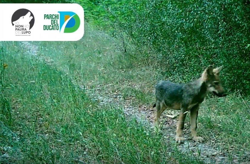 Nuovi cuccioli di lupo nel branco del Taro