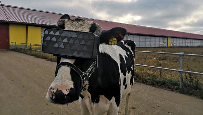 Vacca reale e realtà virtuale