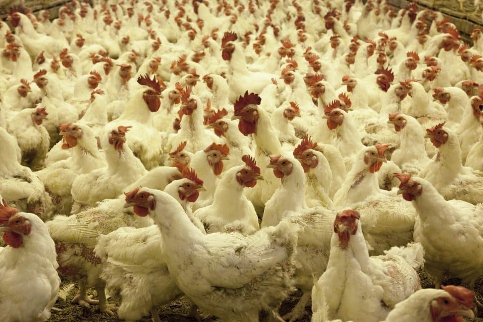 Antibiotici negli allevamenti intensivi
