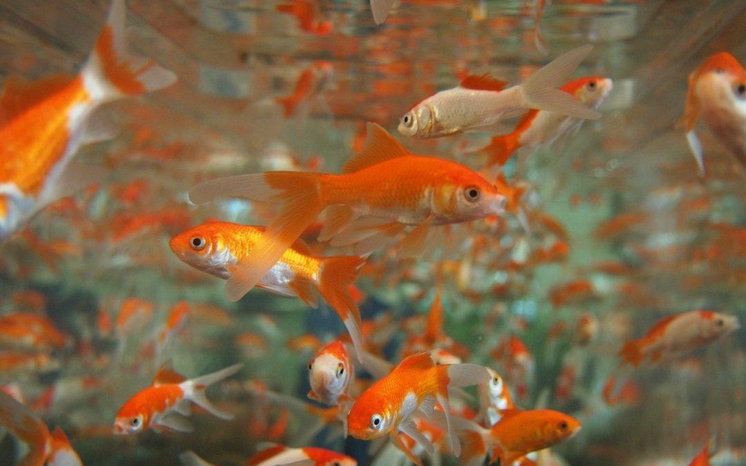 Non liberate pesci rossi nei corsi d'acqua