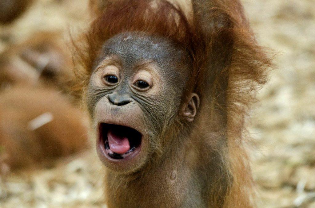 Baby orangutan rapito