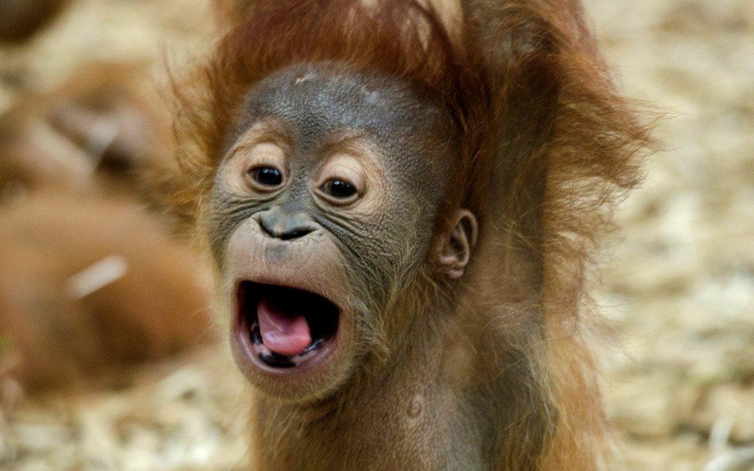 Baby orangutan rapito e trovato in valigia: ora è libero