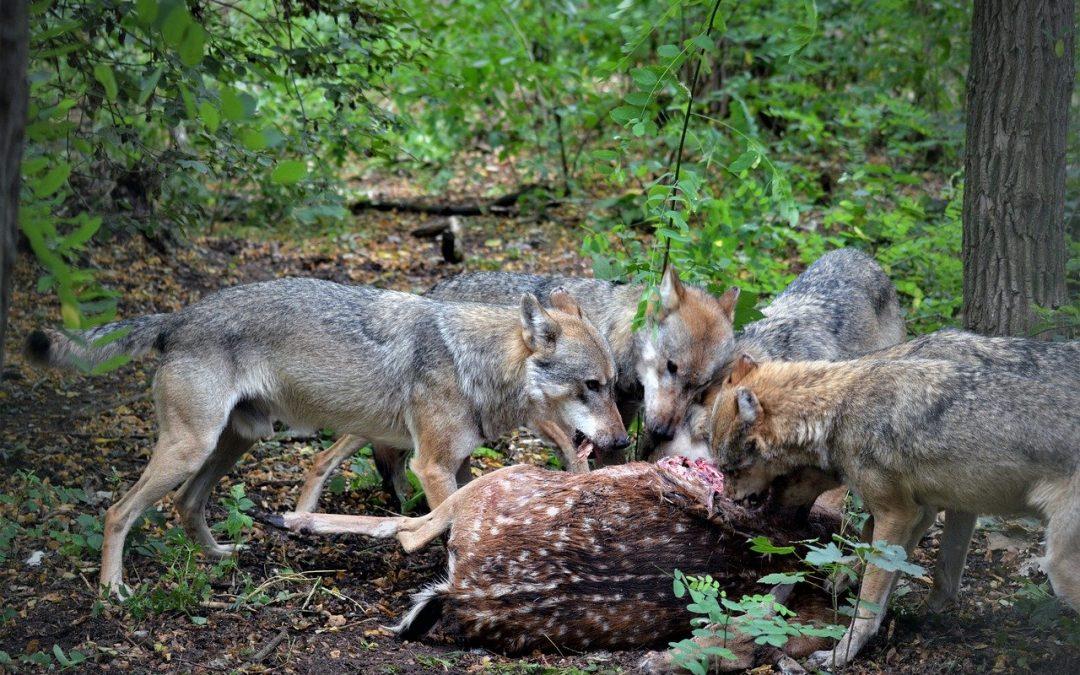 Allevatori difendono i lupi, succede nella Murgia