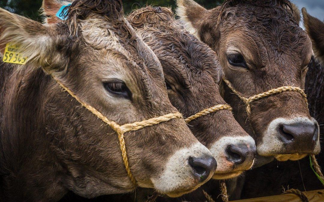 Coldiretti porta vacche e maiali in San Pietro per la benedizione, rito pagano e sofferenza