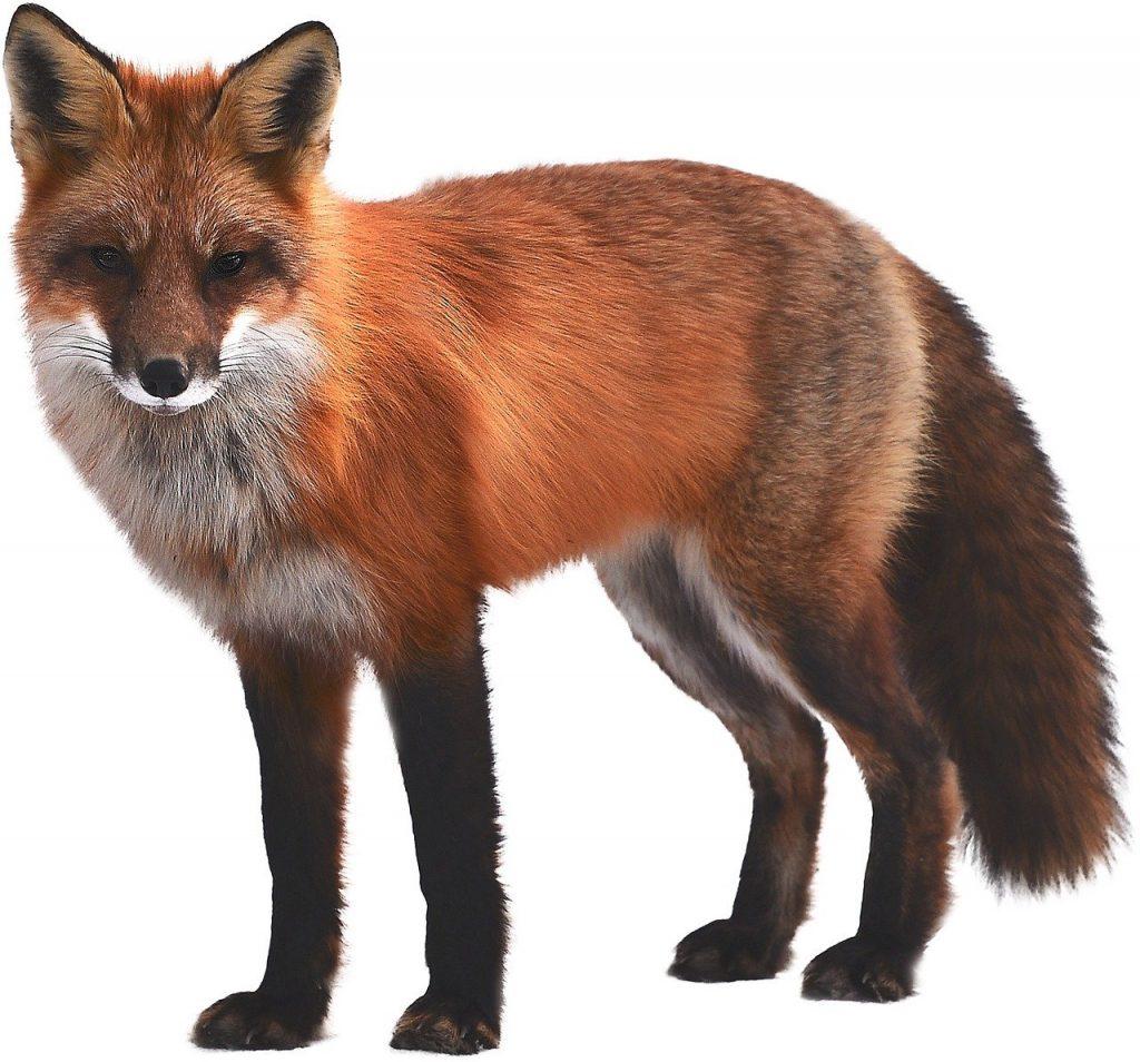Cacciatori contro volpi