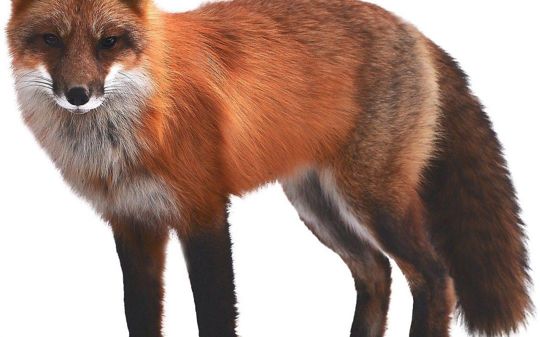 Cacciatori contro volpi, il TAR della Lombardia dice no!