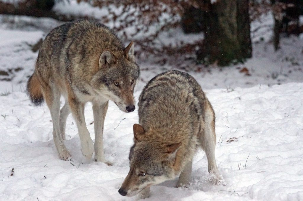 lupo impiccato