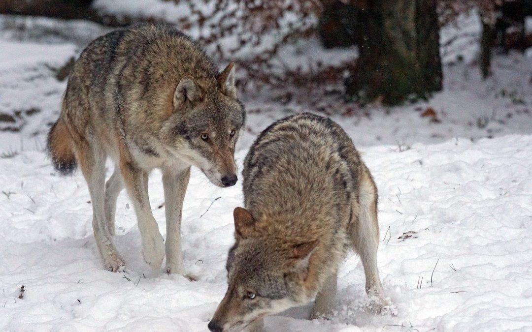 Un lupo impiccato e un cane gettato vivo nella spazzatura