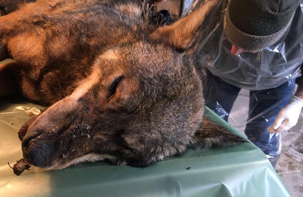 lupo ucciso con bocconi avvelenati