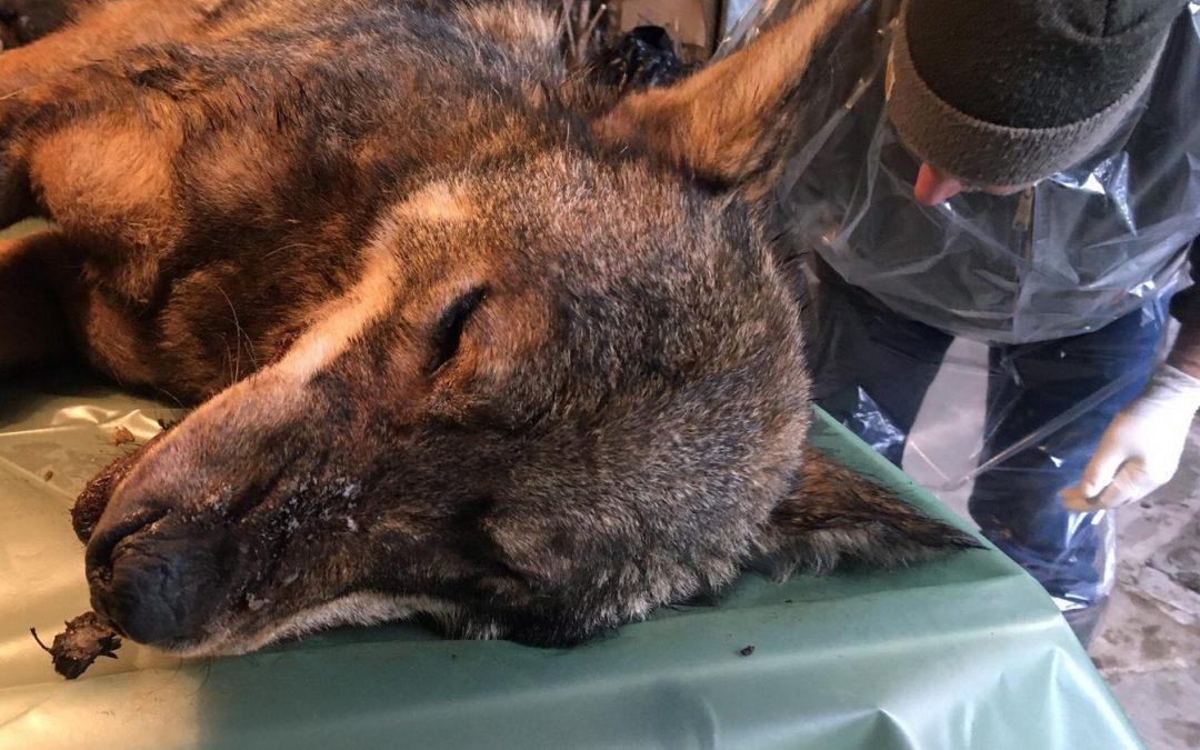 Ancora un lupo ucciso con bocconi avvelenati, la forma di bracconaggio più vigliacca