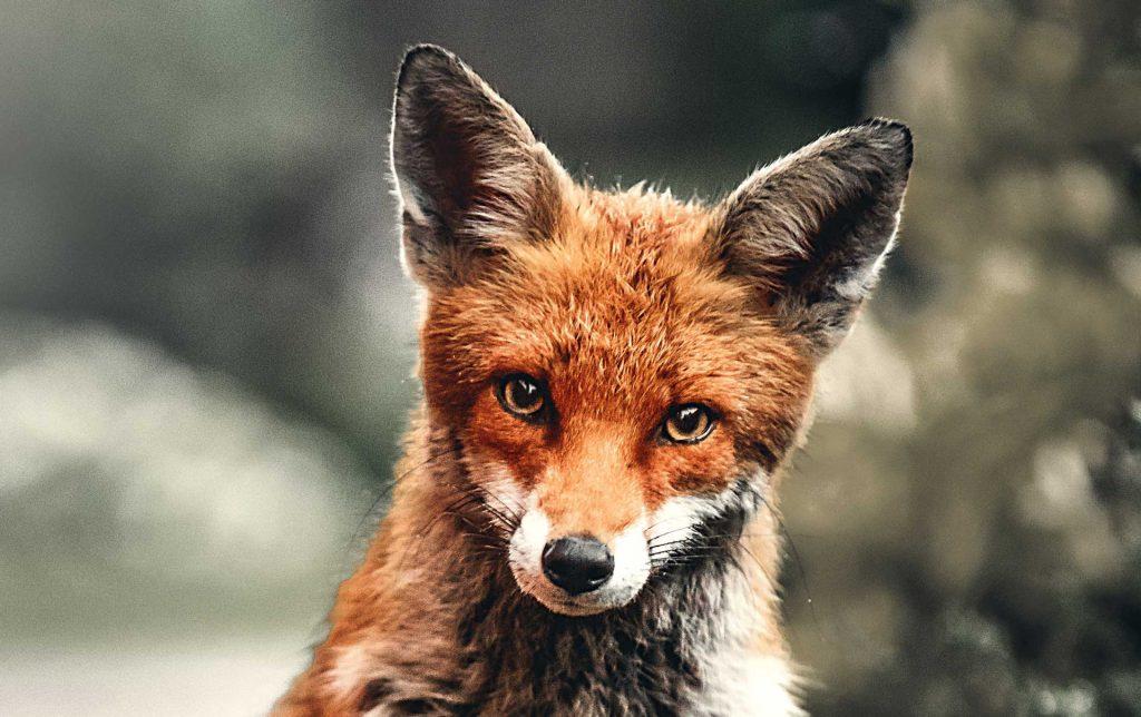 Regione Lombardia vincono le volpi
