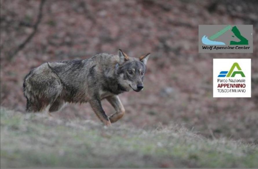 Un radiocollare e un lupo intraprendente: si svelano meraviglie del mondo naturale